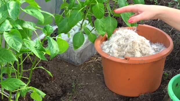 Как добиться прекрасного урожая перца