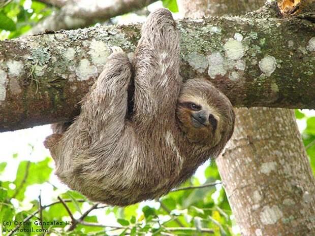 Ответы@Mail.Ru: Знаете такого зверя : ленивец . А вот как они живут и размножаются - если всё лень делать ? (см.фото)