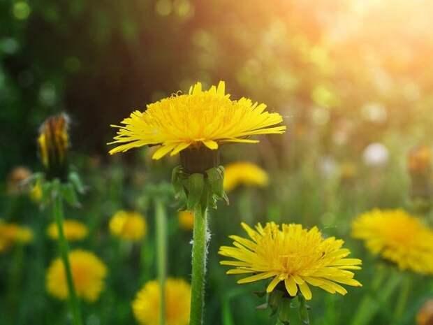 Удобрение из одуванчика от души накормит растения