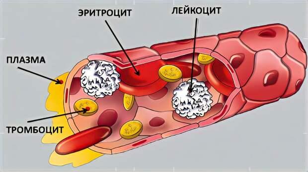 Этого вы не знали о своей крови: 5 друзей и 3 врага вашей кровеносной системы