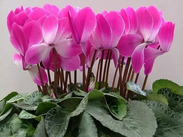 Цветок цикламен: приметы и особенности размещения в доме - Огород, сад, балкон