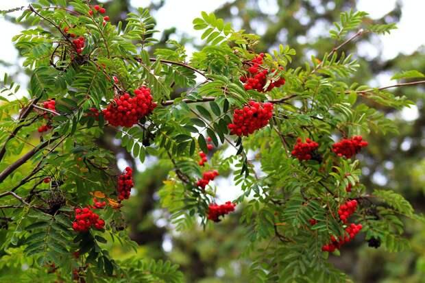 Осенью во дворах Рязанского высадят вишни, рябины и яблони