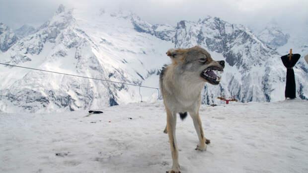 Русский голыми руками задушил волка при нападении. Видео опубликовали журналисты.