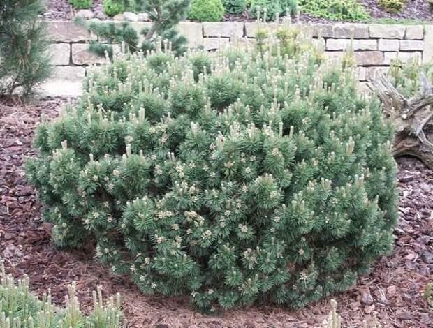 Pinus mugo Mops. Фото с сайта www.helmers.de