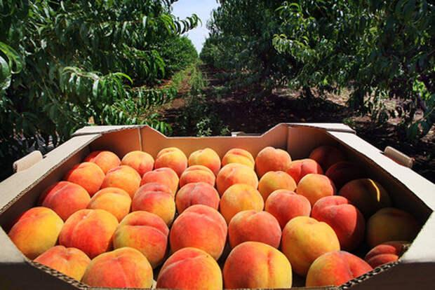 Россельхознадзор нашел вирус в сербских фруктах