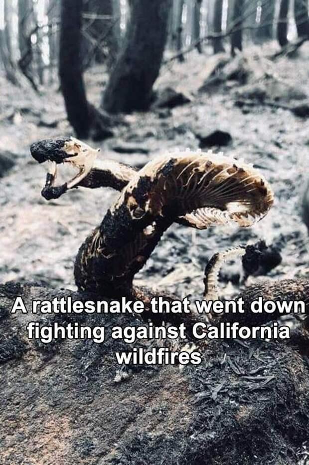 Гремучая змея, пережившая калифорнийские пожары