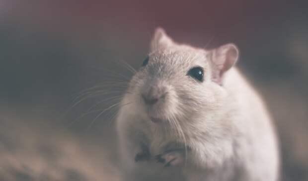 Количество крыс имышей начетверть сократилось вСвердловской области