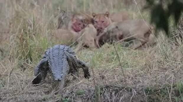 Львицы дали отпор крокодилу