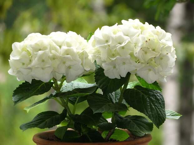 комнатные растения вредные для здоровья фото