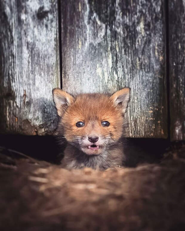 ossi-saarinen-baby-fox-photography-13