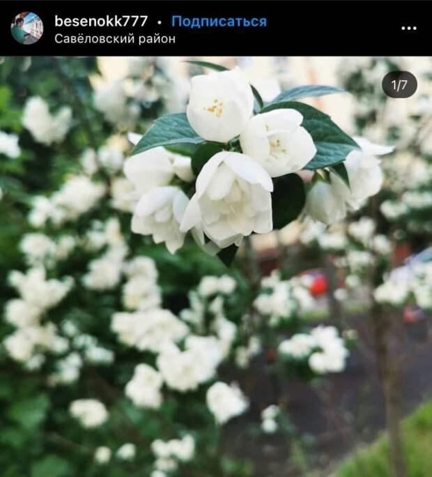 Фото дня: цветение жасмина в Савеловском
