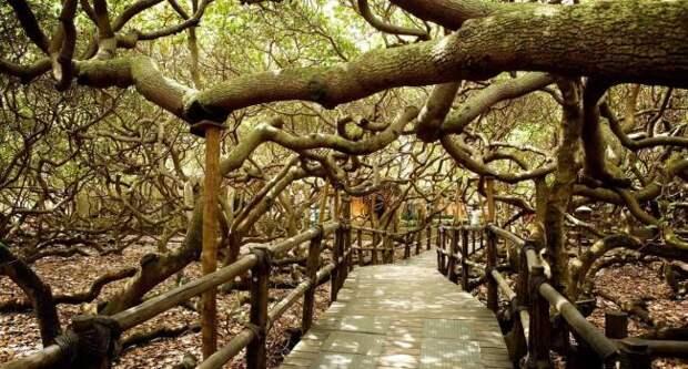 Самое большое дерево на Земле продолжает расти