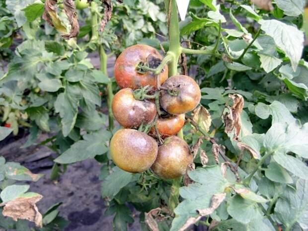 Органическое земледелие, пермакультура: Эффективная профилактика фитофторы на  картофеле и томатах