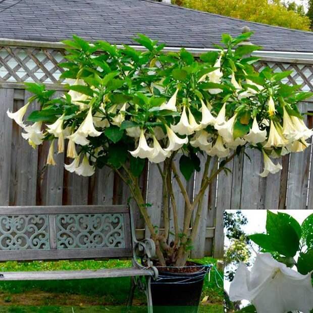 Комнатное растение Дурман (Datura)
