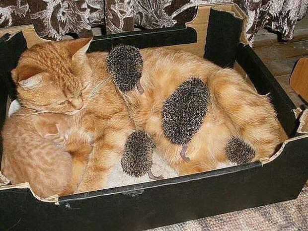 Кошка заботится о ежатах