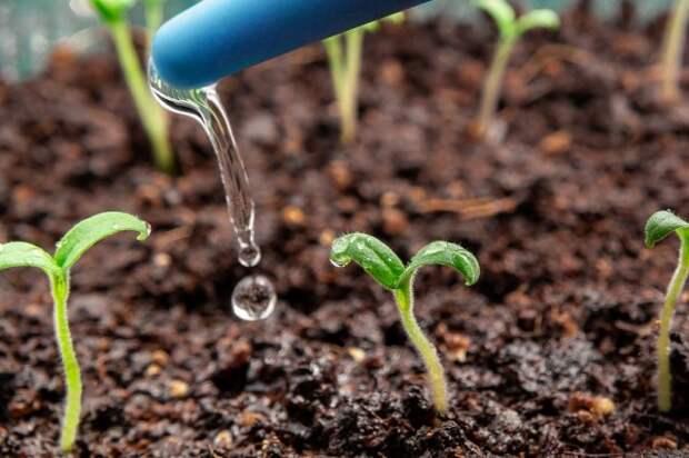 поливать рассаду