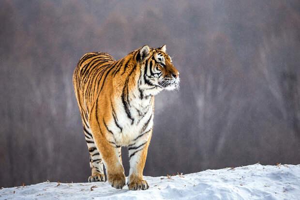 Тигр растерзал охотника в тайге в Хабаровском крае