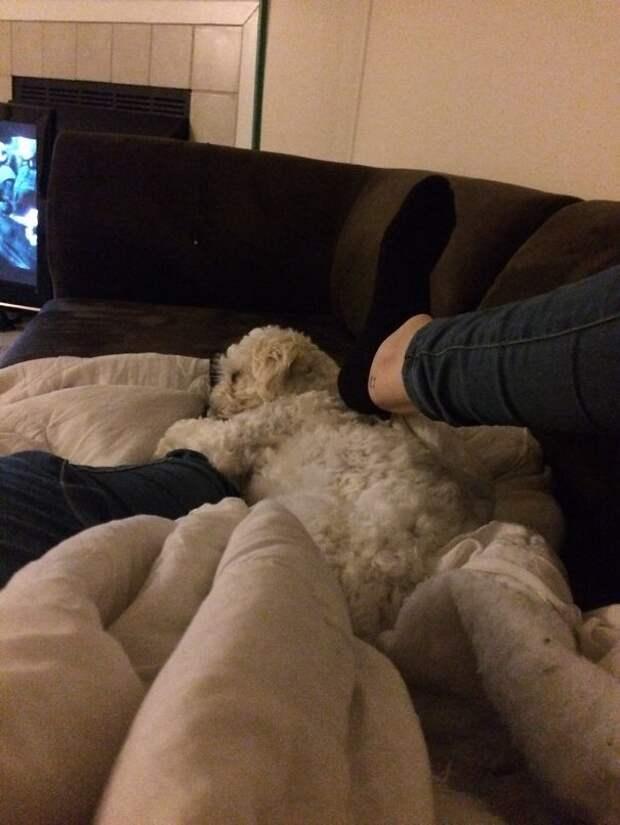 Ноги хозяина - лучшая постель! Эти забавные животные, животные, забавно, зверские шутки, смешно, собаки, ты не поверишь, фото