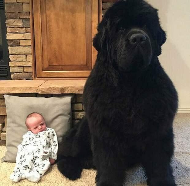 Не пес, а медведь