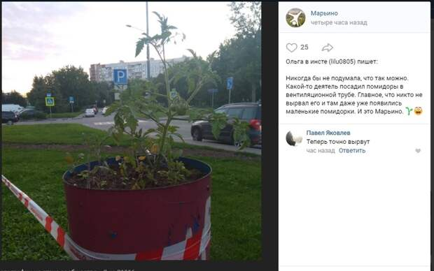 В вентиляции в Марьине выросли помидоры
