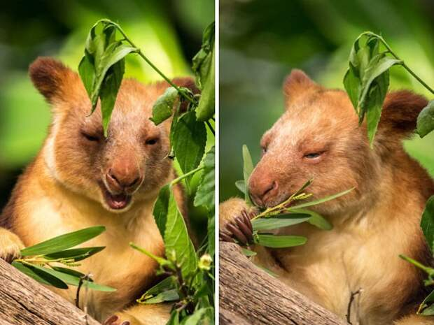 Древесный кенгуру: Другие кенгуру. Необычный горный вид со здоровыми когтищами!