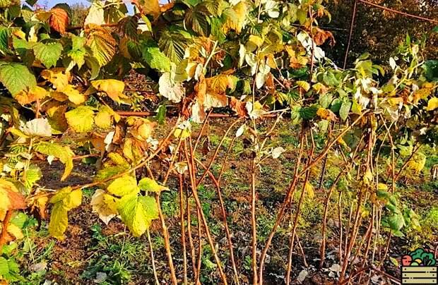 Не обрезайте малину осенью: делюсь хитрым способом, который позволит получить вёдра отличного урожая