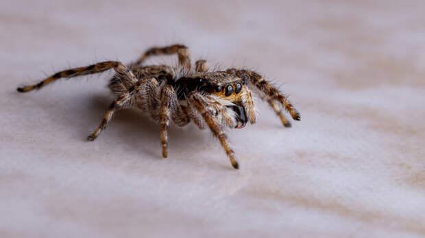 Британцев атакуют сексуально озабоченные пауки