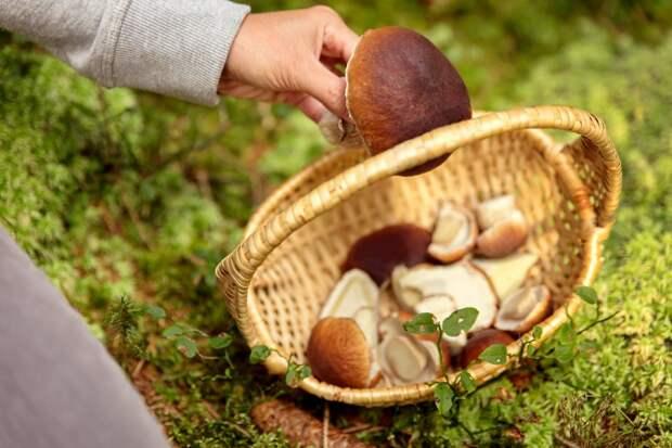 Россиянам разъяснили правила сбора грибов и березового сока. Грибы должны соответствовать размерам