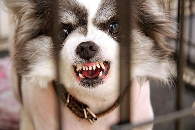 Собака прижала уши и показала зубы - предупреждение: не приближайся, укушу! Фото: Роман ИГНАТЬЕВ
