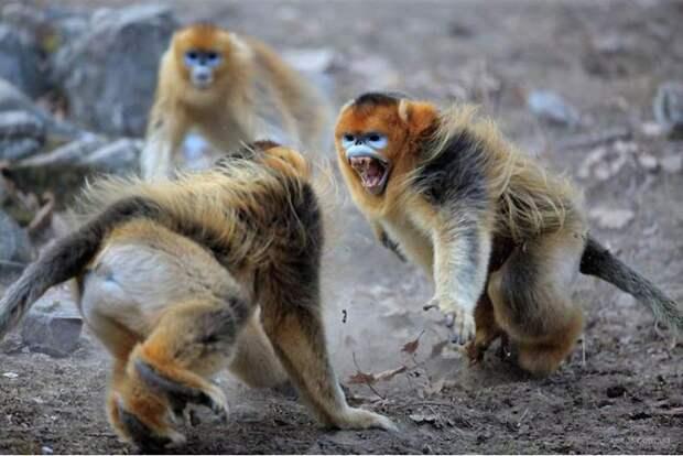 драка курносых обезьян