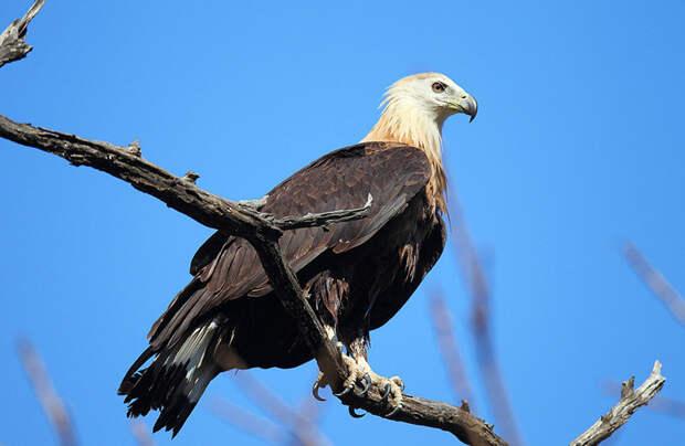Орлан-долгохвост животные, красная книга, редкие животные, россия