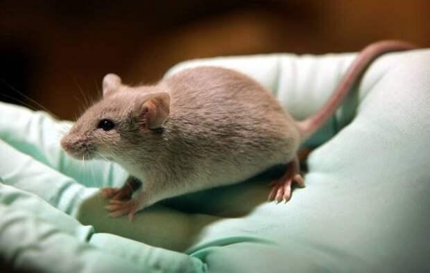 Мыши продемонстрировали умение сортировать информацию