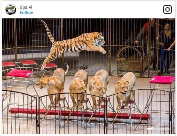 Странные львы шокировали весь интернет! Они больные, перекормленные или… немножко беременные? Не угадали!