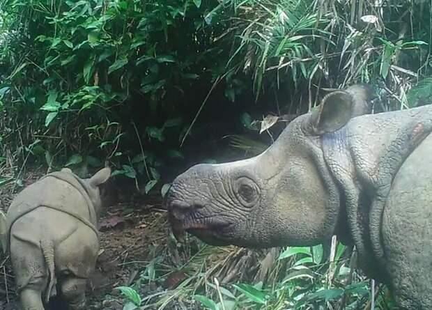 В Индонезии родились два детеныша редкого яванского носорога
