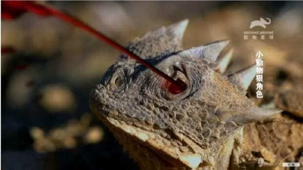 Эта ящерица стреляет кровью из глаз, чтобы держать врагов в страхе
