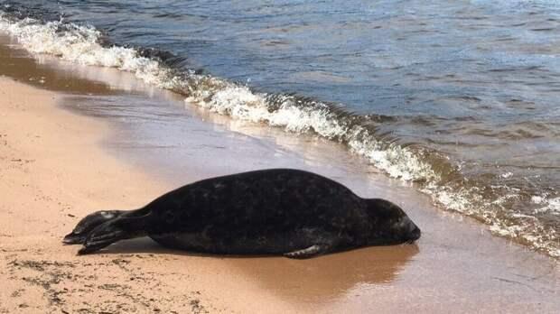 Более 150 погибших редких тюленей обнаружили на побережье Каспийского моря