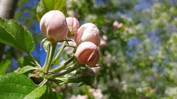 Дефицита косточковых и семечковых плодовых культур в Республике Крым в этом году не предвидится