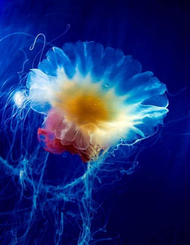 Самые красивые и яркие медузы