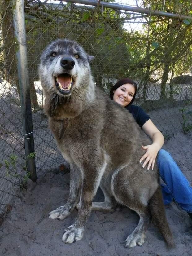 Вот это волчище. А ведь его хотели усыпить волки, животные, огромные