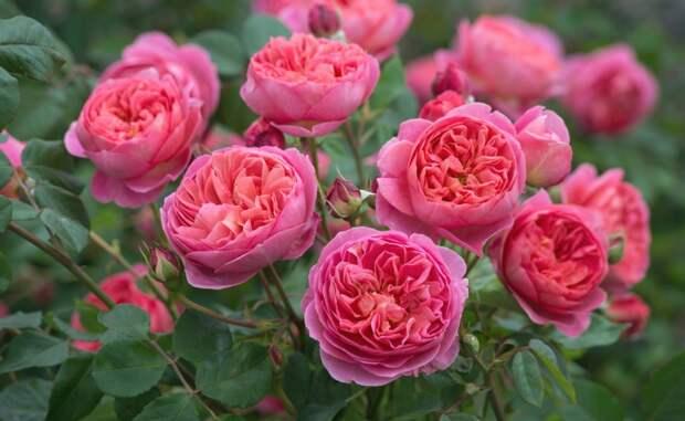 Розы Остина должны быть в каждом цветнике!
