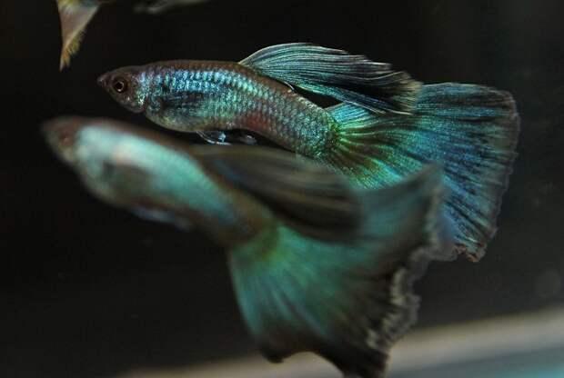 Неприхотливые рыбки, которым не нужен большой аквариум