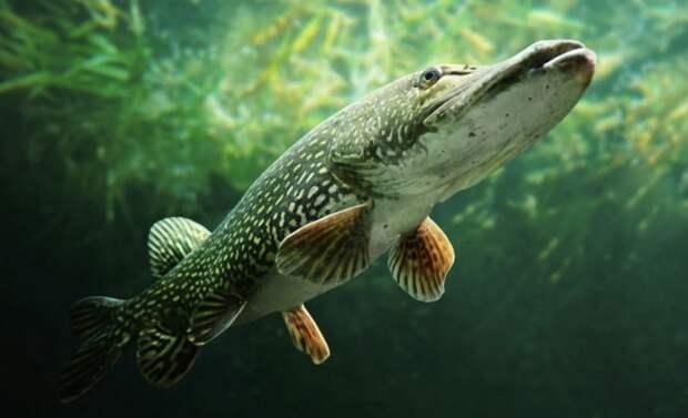 Можно ли вырастить щуку в аквариуме. Видео с экспериментом