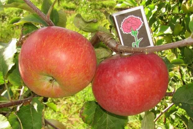 Яблоня. Сорта, агротехника (вредители и болезни в другой теме) - Страница 318 - форум-виноград