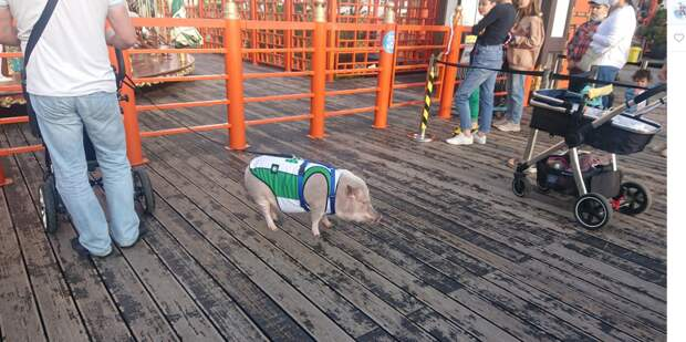 Фото дня: свин-спортсмен на ярмарке