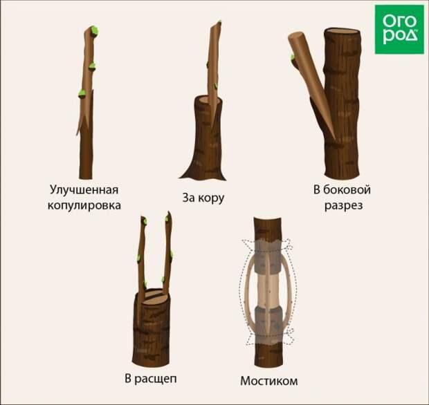 Виды прививок деревьев