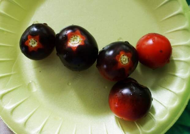Фиолетовые томаты «Блеве П-20»