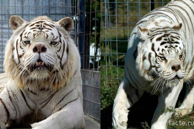 белый тигр-мутант Кенни