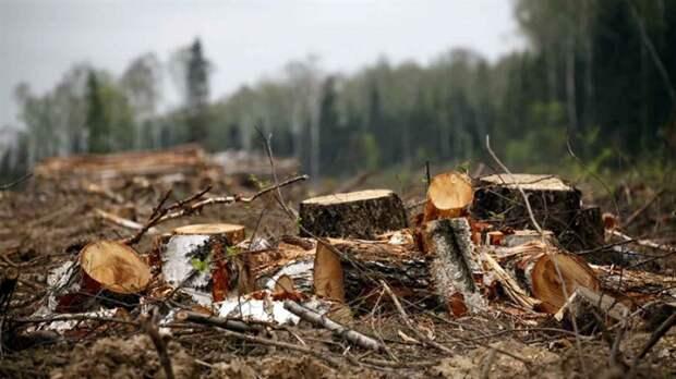 Красноярский край стал первым в России по незаконным рубкам леса