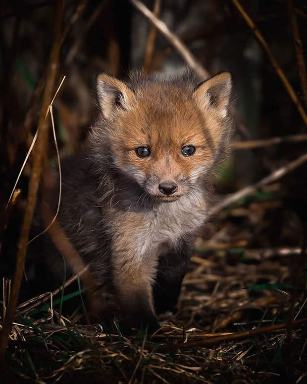 ossi-saarinen-baby-fox-photography-6
