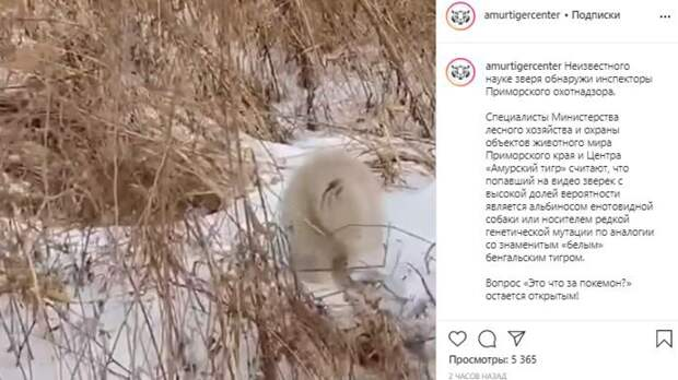 В лесу Приморского края нашли необычного зверя-альбиноса